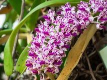 Fiore porpora dell'orchidea in giardino tropicale, gigantea di Rhynchostylis, Fotografie Stock