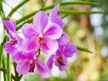 Fiore porpora dell'orchidea in giardino tropicale, mitrala di seidenfalenia, Immagine Stock Libera da Diritti