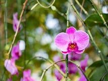 Fiore porpora dell'orchidea in giardino tropicale, mitrala di seidenfalenia, Fotografia Stock Libera da Diritti