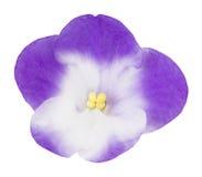 Fiore porpora dell'orchidea, isolato su bianco Fotografia Stock