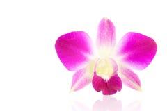 Fiore porpora dell'orchidea isolato su un fondo bianco fotografia stock