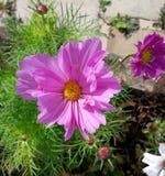Fiore porpora dell'universo dal giardino Immagini Stock Libere da Diritti