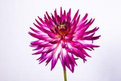 Fiore porpora della dalia del cactus Fotografia Stock
