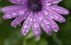 Fiore porpora della margherita con le gocce di pioggia fotografia stock libera da diritti