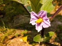 Fiore porpora della melanzana Fotografie Stock Libere da Diritti