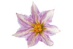 Fiore porpora della melanzana su bianco Fotografia Stock Libera da Diritti
