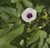 Fiore porpora della patata dolce sulla vite immagini stock