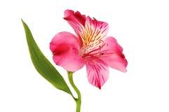 Fiore porpora di Alstroemeria Fotografia Stock Libera da Diritti