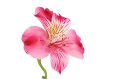 Fiore porpora di Alstroemeria Immagini Stock Libere da Diritti
