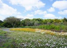 Fiore porpora di Beautilful nel parco a Città del Capo, Sudafrica Fotografie Stock