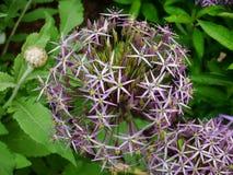 Fiore porpora di Cristophii dell'allium con le foglie nei precedenti Immagini Stock Libere da Diritti