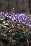 Fiore porpora di fioritura del croco di zafferano immagini stock libere da diritti