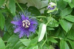 fiore porpora di passione di Maggio-schiocco (passiflora Incarnata) Fotografia Stock