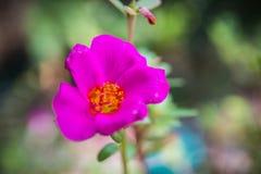 Fiore porpora di portulaca oleracea grandiflora sul backgrou vago Fotografia Stock Libera da Diritti