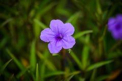 Fiore porpora di ruellias in giardino Fotografie Stock Libere da Diritti
