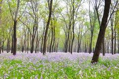 Fiore porpora di violaceus di Orychophragmus nel tempo di primavera immagini stock
