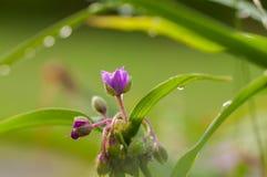 Fiore porpora di virginiana di tradescantia con le foglie verdi dopo una fine della pioggia su Fotografia Stock