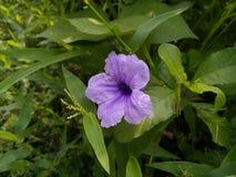 Fiore porpora di Waterkanon fotografia stock
