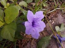 Fiore porpora di Waterkanon fotografia stock libera da diritti