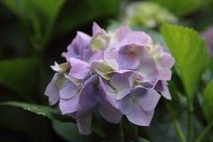Fiore porpora dopo pioggia Immagini Stock