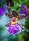Fiore porpora e giallo luminoso dell'orchidea Fotografie Stock