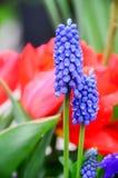 Fiore porpora e rosso in giardino Fotografia Stock Libera da Diritti
