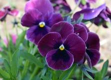 fiore, porpora, fiori, natura, giardino, pianta, molla, rosa, orchidea, viola, flora, pansé, fioritura, verde, blu, fiore, estate fotografie stock libere da diritti