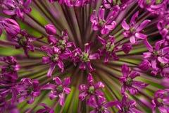 Fiore porpora gigante dell'allium del primo piano Fotografia Stock