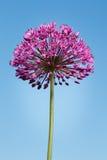 Fiore porpora gigante dell'allium su cielo blu Fotografie Stock