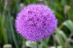 fiore porpora gigante della cipolla dell'allium Fotografia Stock
