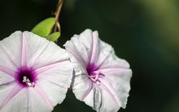 Fiore porpora isolato dalla patata dolce su un fondo scuro fotografia stock