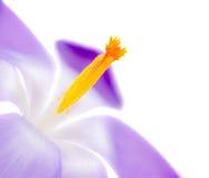 Fiore porpora isolato del fiore del croco Fotografie Stock Libere da Diritti