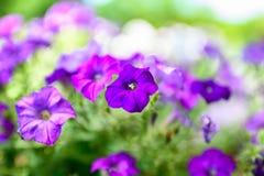 Fiore porpora lilla in giardino verde fotografia stock libera da diritti