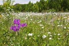 Fiore porpora in mare dei fiori bianchi Fotografia Stock Libera da Diritti