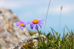 Fiore porpora in natura, si sviluppa sulle rocce fotografia stock