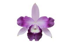 Fiore porpora (orchidea) isolato su bianco immagine stock