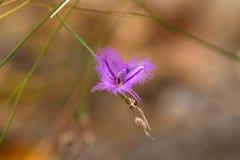 Fiore porpora rosa del giglio della frangia con i bordi guarniti sull'vago su immagine stock libera da diritti