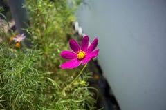 Fiore porpora solo nel sole luminoso Immagine Stock Libera da Diritti