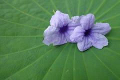Fiore porpora su fondo Lotus fotografia stock