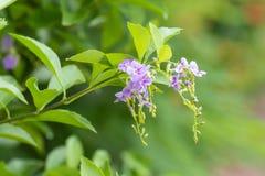 Fiore porpora sulle foglie verdi Questo colpo ha catturato a re Rama nono Pak a Bangkok Tailandia Fotografia Stock