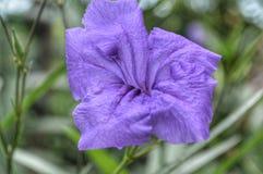 Fiore porpora sveglio Fotografie Stock Libere da Diritti
