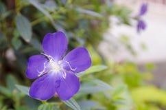 Fiore porpora Tibouchina in giardino verde Immagini Stock