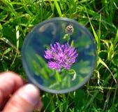 Fiore porpora tramite una lente d'ingrandimento Fotografia Stock