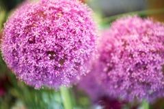 Fiore porpora variopinto del giganteum dell'allium Fotografie Stock