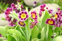 Fiore porpora vulgaris della molla della primula della pianta dell'enagra del mazzo primo Primaverina variopinta del modello del  fotografia stock libera da diritti
