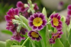 Fiore porpora vulgaris della molla della primula della pianta dell'enagra del mazzo primo immagini stock libere da diritti