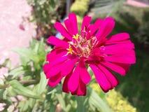 Fiore porpora Zenia crescendo sul giardino Nell'ora legale immagini stock libere da diritti