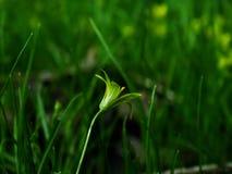 Fiore, pratensis di Gagea Fotografia Stock