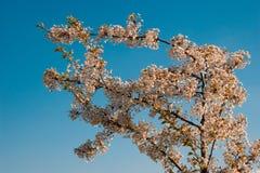 Fiore in primavera Immagini Stock Libere da Diritti