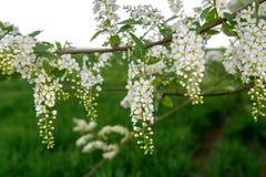 Fiore profumato bianco dell'albero della uccello-ciliegia immagine stock libera da diritti